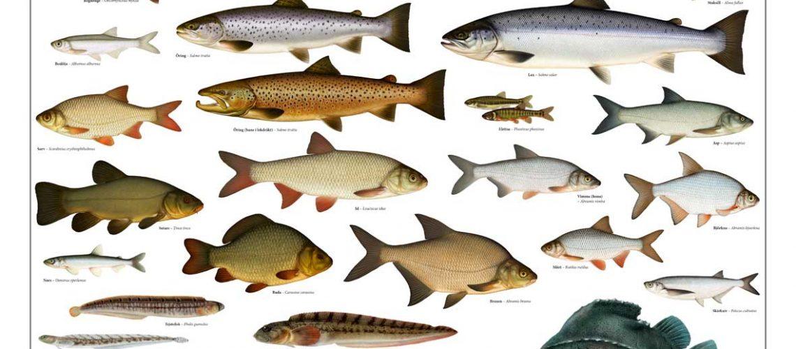 affisch-fiskar-stående-10x14cm-webb